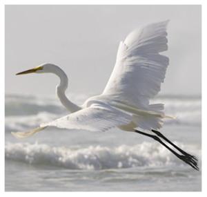 Elegant great egret